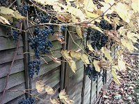 There are grapes growing in my garden. Chateau Bounds Green?